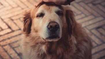 vieux chien caresse
