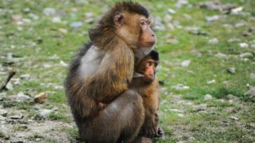 singe et son bébé câlin