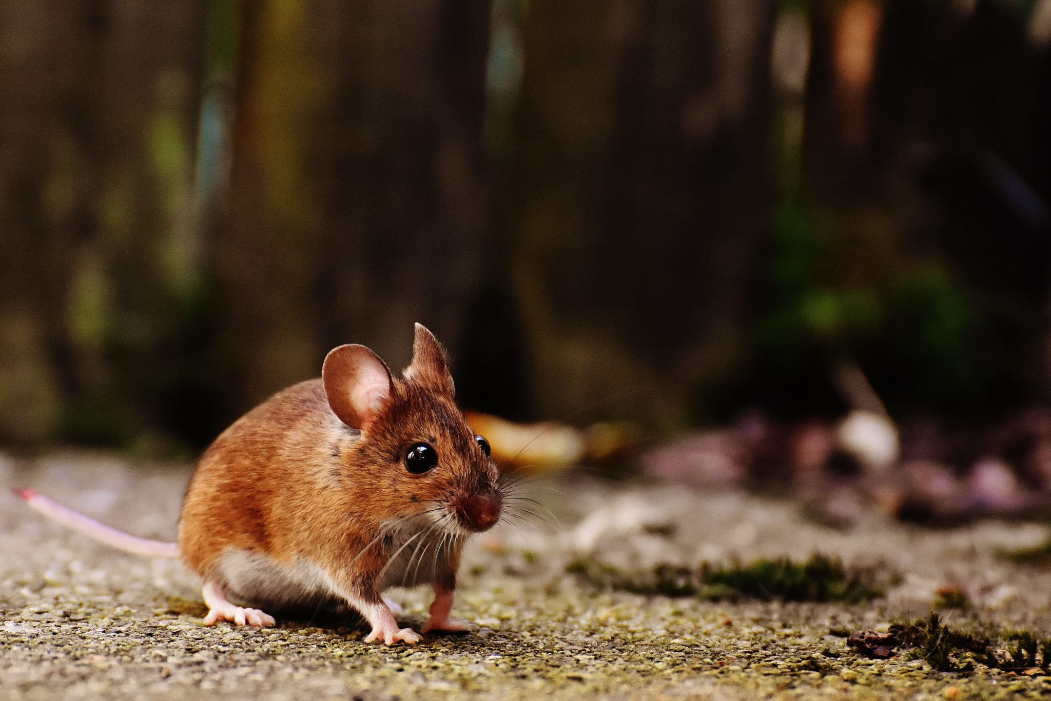 souris brune documentaire animalier