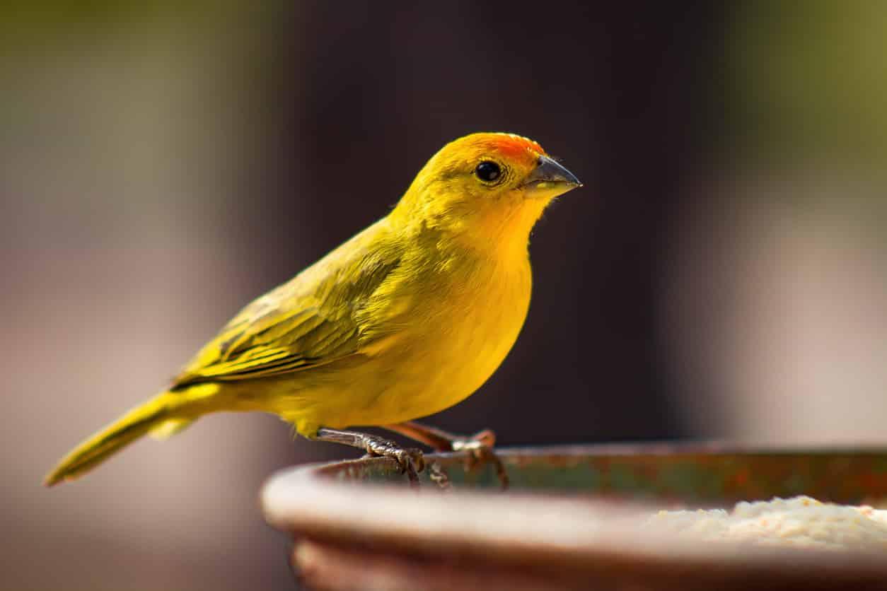 oiseaux canari jaune
