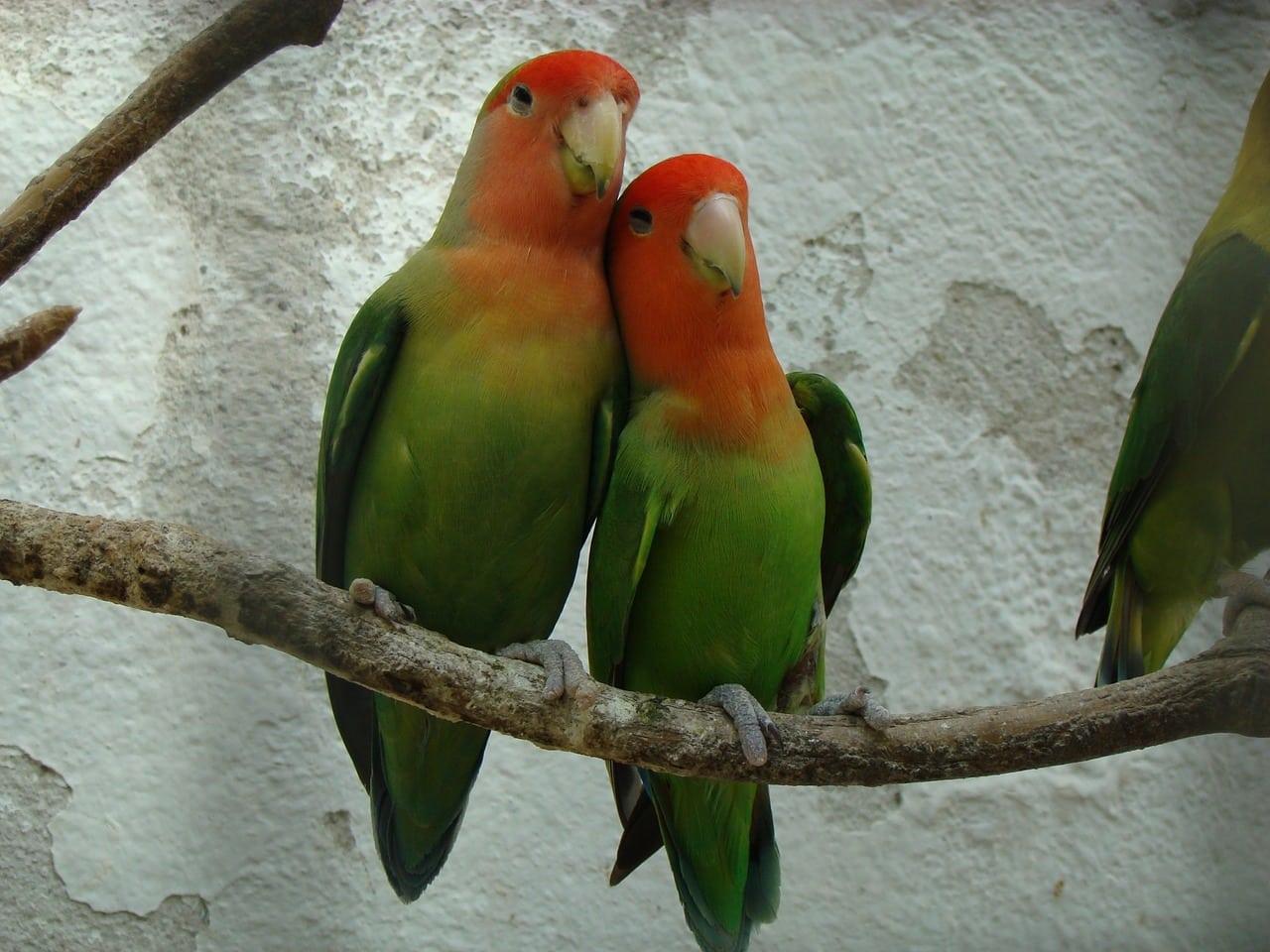 oiseaux inséparable