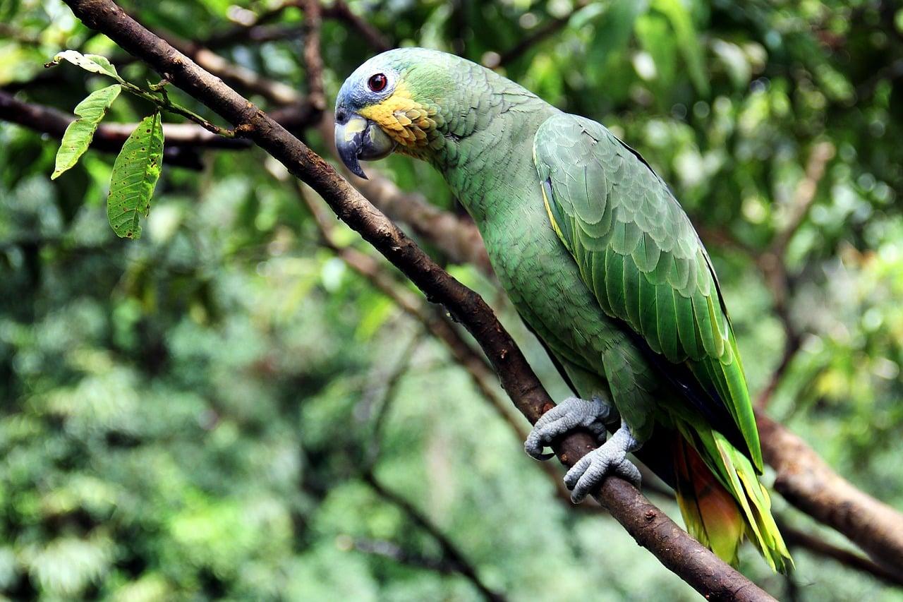 oiseaux perroquet amazone