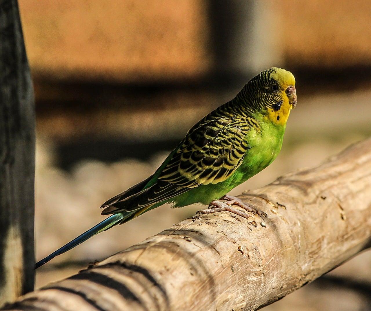perruche ondulée oiseaux